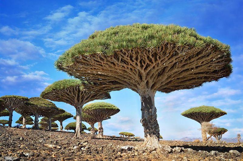 Dragonblood Tree, Yemen