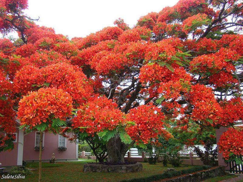 Flamboyant Tree, Brazil