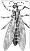 Hooke-gnat