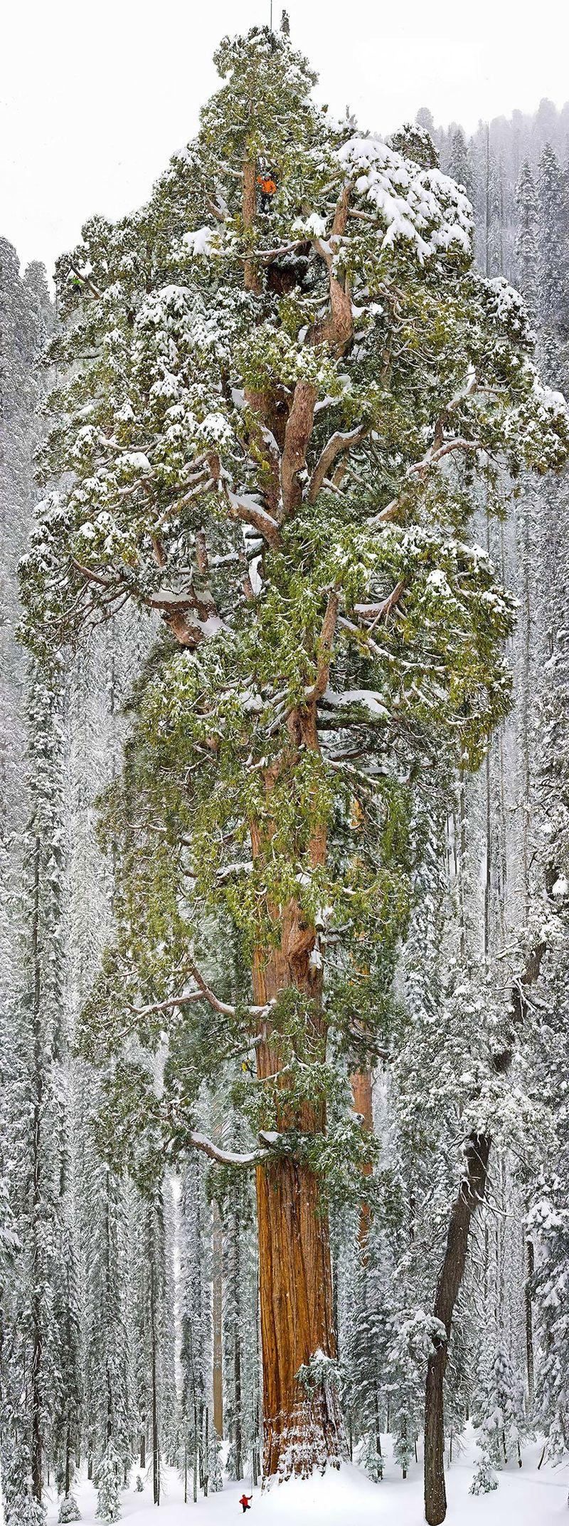 Giant Sequoia, California (241 Feet Tall)