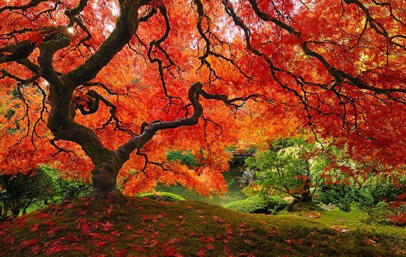 Japanese Maple, Portland, Oregon 2